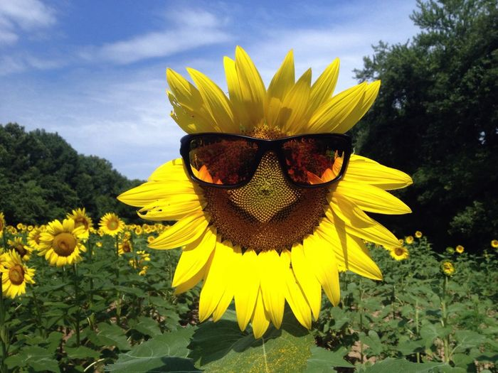 Even sunflowers like to look good.