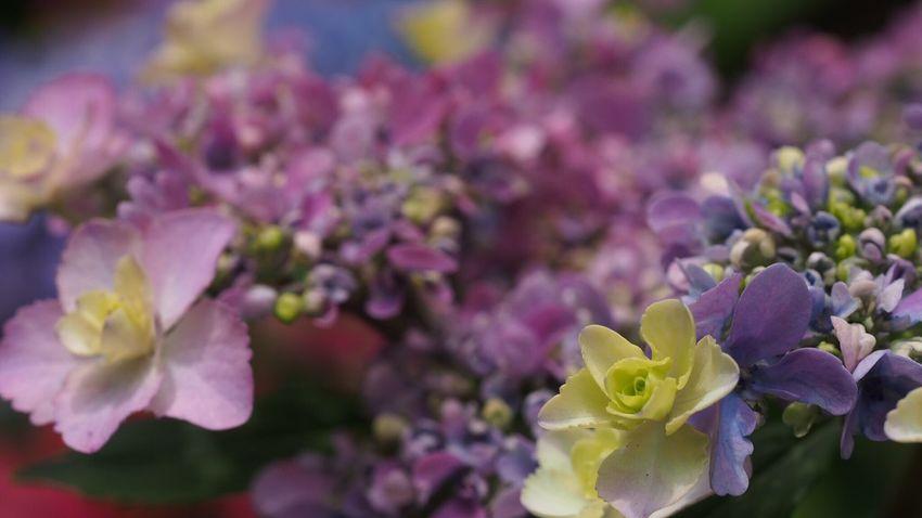 Japan,koyto EyeEm Best Shots EyeEm Nature Lover Flower Photography Flowerlovers Beautiful ♥ Beautiful Nature あじさい寺 あじさい Macro_flower Purple Flower