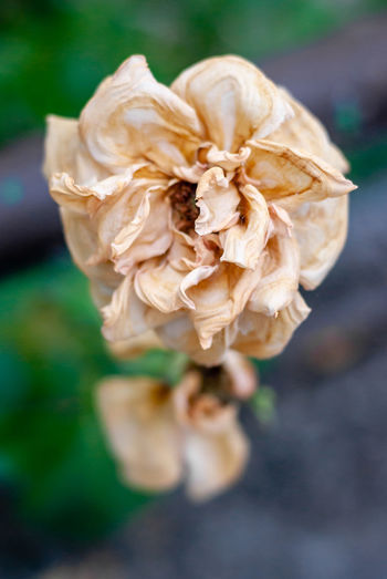 Close-up of wilted rose in field