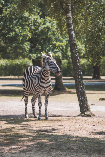 Animal Animal Markings Animal Themes Beauty In Nature Beekse Bergen Day Focus On Foreground Herbivorous Mammal Natural Pattern Nature No People Outdoors Selective Focus Striped Tree Trunk Wildlife Zebra Zoo