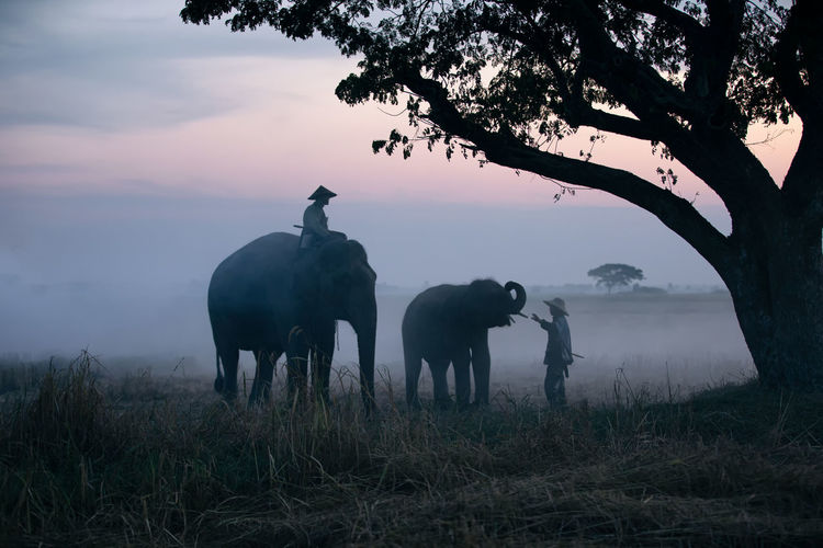 People sitting over elephants on land against sky during sunset