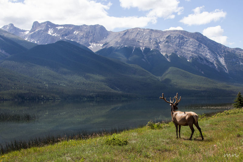 Animal Themes Beauty In Nature Canada Cloud - Sky Day Field Grass Herbivorous Idyllic Landscape Mammal Mountain Mountain Range Nature Outdoors Remote Rocky Mountains Rockymountains Scenics Sky Tranquil Scene Tranquility