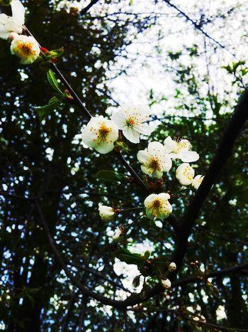 Wild Cherry Flower Head Blossom Tree Flower Cherry Blossoms Springtime