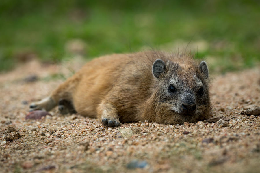 Cape Hyrax Nature Tanzania Travel Africa Animal Animal Themes Animal Wildlife Animals In The Wild Close-up Day Field Hyrax Land Looking At Camera Lying Down Mammal Nature No People One Animal Outdoors Portrait Relaxation Rock Hyrax Safari Selective Focus Vertebrate Wildlife