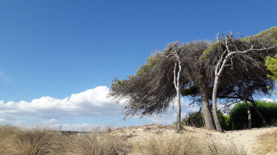 Dancing trees Bushes Bushes And Trees Tree Sky Blue Nature Day Outdoors No People Gre Cloud - Sky Beauty In Nature Green Color Puglia Beach Beach View Beachphotography Seascape Dunescape Dune Seaside Trees