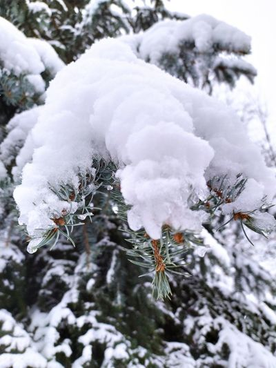 Close-up of snow covered pine tree