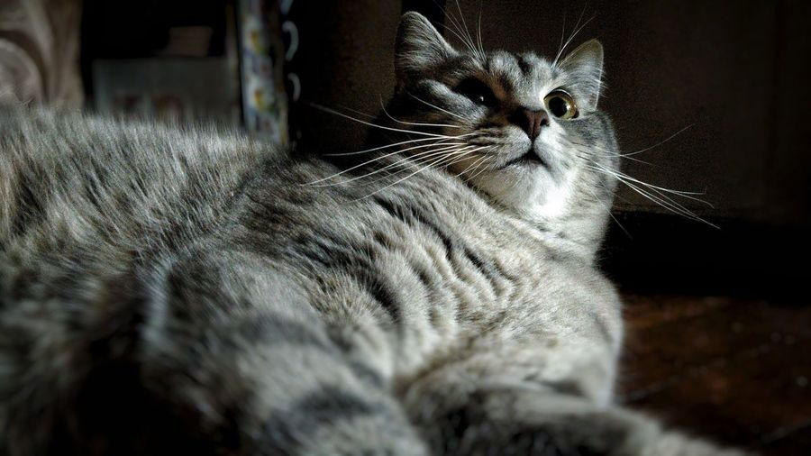 Close-up of cat relaxing