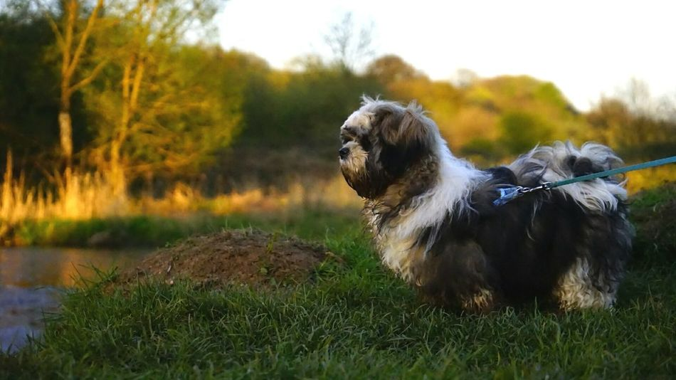 Dog Pets Animal Outdoors Grass Shih Tzu Proud Gorgeous ♥
