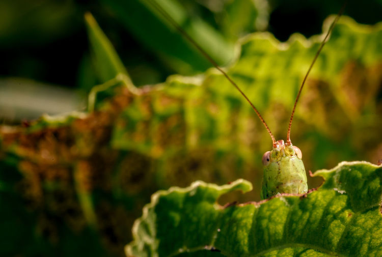 EyeEmNewHere Animal Themes Animal Wildlife Animals In The Wild Beauty In Nature Close-up Day Focus On Foreground Freshness Grasshopper Green Color Growth Insect Macro Nature No People One Animal Outdoors Plant