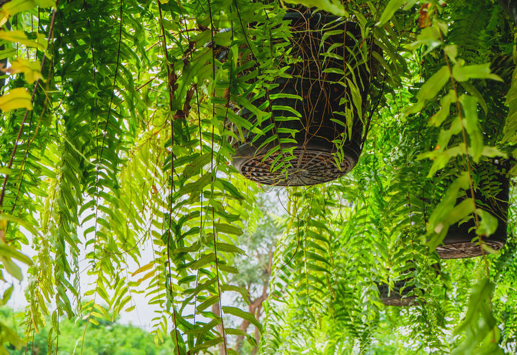 Low angle view of fern hanging from tree