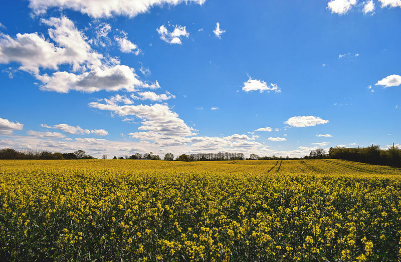 Agriculture Field Crop  Nature Beauty In Nature Growth Outdoors Day Scenics Sky Cloud - Sky Tranquility No People Landscape Freshness WOW Nature Light Spring Pure View Oilseed Rape EyeEm Nature Lover Yellow Beautiful Nature