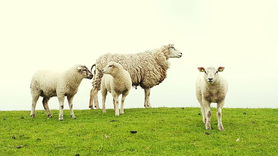 Nature's Diversities Sheeps Little Sheep Lammetje Schapen Sheepworld Dutch Sheep Mammal Animal Themes Livestock Grass Domestic Animals Sheep Clear Sky Nature Field Flock Of Sheep No People Green Color Lamb Grazing Togetherness Beauty In Nature Large Group Of Animals Outdoors Day Standing Sky