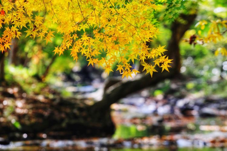 Beautyinnature  Autumncolors Beautifulnature South Korea Leaf Autumn Multi Colored Change Beauty Plant Part Close-up Maple Leaf Maple Tree Maple Autumn Collection Fallen Leaves Woods Stream Countryside