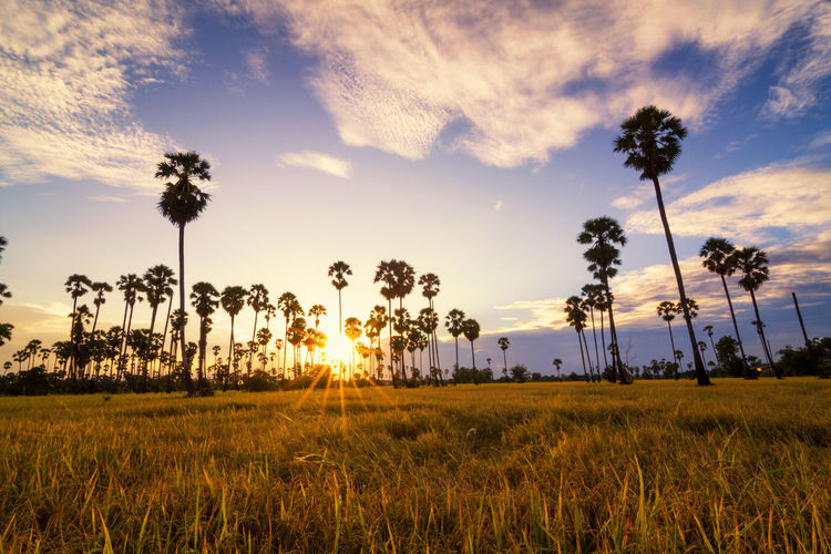 Sugar palm sunset in Thailand Sky Plant Field Beauty In Nature Sunset Land Landscape Cloud - Sky Tranquility Environment Tranquil Scene Scenics - Nature Growth Tree Grass Sun Nature No People Sunlight Rural Scene Outdoors