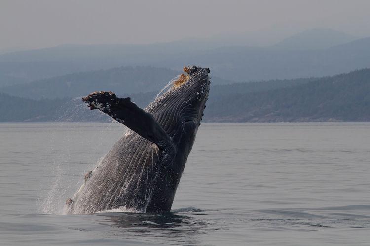 Breaching Humpback Whale Barnacles Breaching Whale Humpback Whale Pacific Northwest  Salish Sea Whale Animal Wildlife Aquatic Mammal Baleen Whale Breach Breaching Breaching Humpback Whale Jumping Whale Ocean Pectoral Flipper Rorqual Vertebrate West Coast