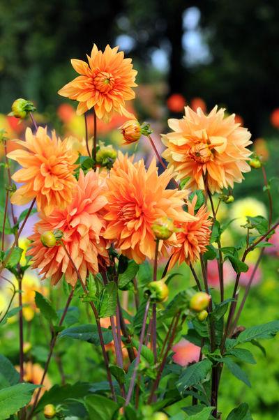 Flowerbed with orange Dahlias. Flower Flower Head Autumn Autumn🍁🍁🍁 Summer Dahlia Dahliaflowers Dahlias Dahlia Flowers DahliaGarden Dahlien Orange Color Orange Flower Garden Flowerbed
