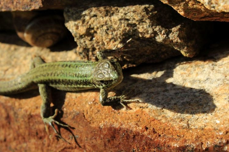 Animal Animal Head  Animal Photography Animal Themes Animals Animals In The Wild Beauty In Nature Close-up Focus On Foreground Green Color Lizard Nature Nature Photography Nature_collection Wildlife Wildlife & Nature Reptile Nature Diversities Temple Of Demeter Sangri Naxos Greece