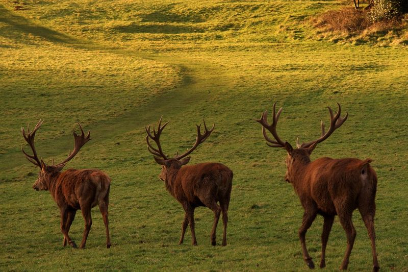 Antler Animal Wildlife Stag Animals In The Wild Deer Field Nature Animal Themes No People Outdoors Natural Parkland Mammal Grass