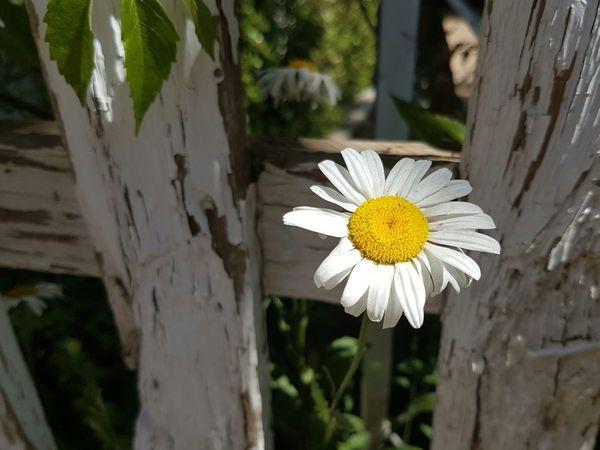 Flower Flower Head Wood Fence
