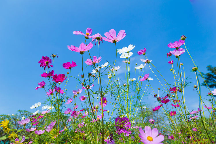 Colorful Cosmos and Blue Sky Beauty In Nature Blue Clear Sky Close-up Cosmos Flower Day Flower Flower Head Flowering Plant Fragility Freshness Growth Low Angle View Nature No People Petal Pink Color Plant Sky Vulnerability