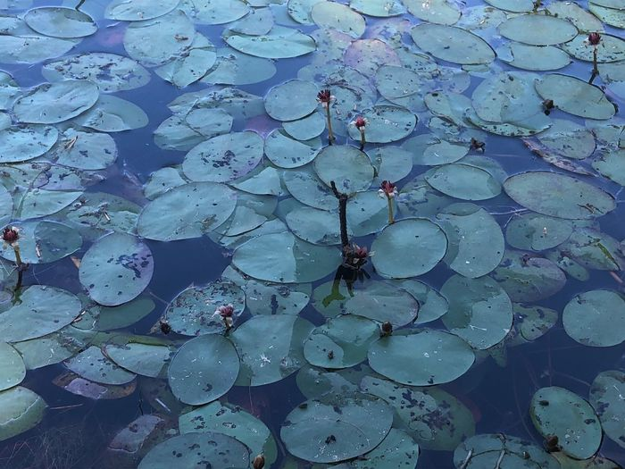 Backgrounds Water Floating On Water No People Floating Leaf High Angle View Beauty In Nature Outdoors Nature Lake Close-up Leaves Plant