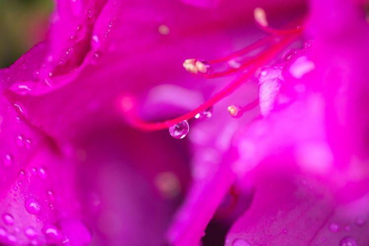 雨に濡れるツツジ Macro Macro Photography Macro_collection Rainy Days Japan Photography OSAKA Japan Water Flower Drop Pink Color Purple Wet Close-up RainDrop Rain Water Drop