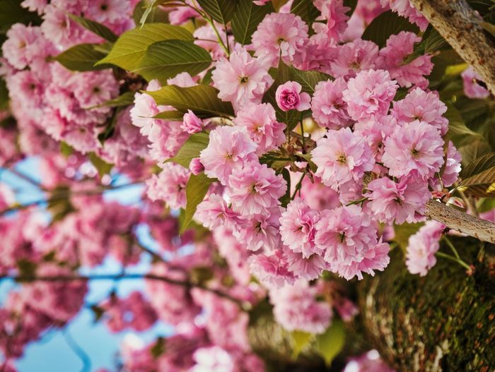 Spring sprung Flowering Plant Flower Plant Pink Color Freshness Fragility Growth Beauty In Nature Nature Close-up Petal Day No People Blossom Tree Outdoors Springtime