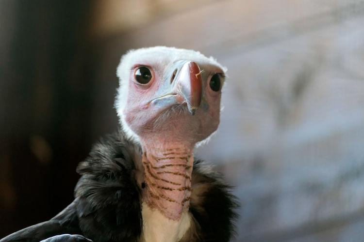 Bird Vulture