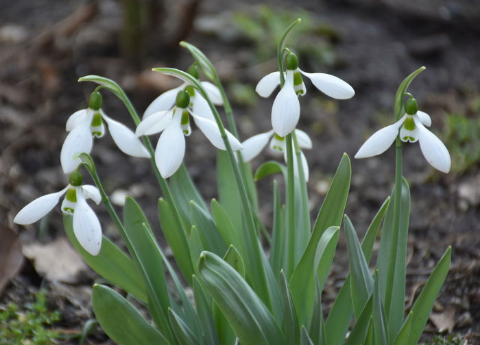 Growth Plant Snowdrop Flower Flowering Plant Vulnerability  Fragility Beauty In Nature Close-up Petal Nature Freshness Focus On Foreground Field Land Day No People Green Color White Color Flower Head Outdoors