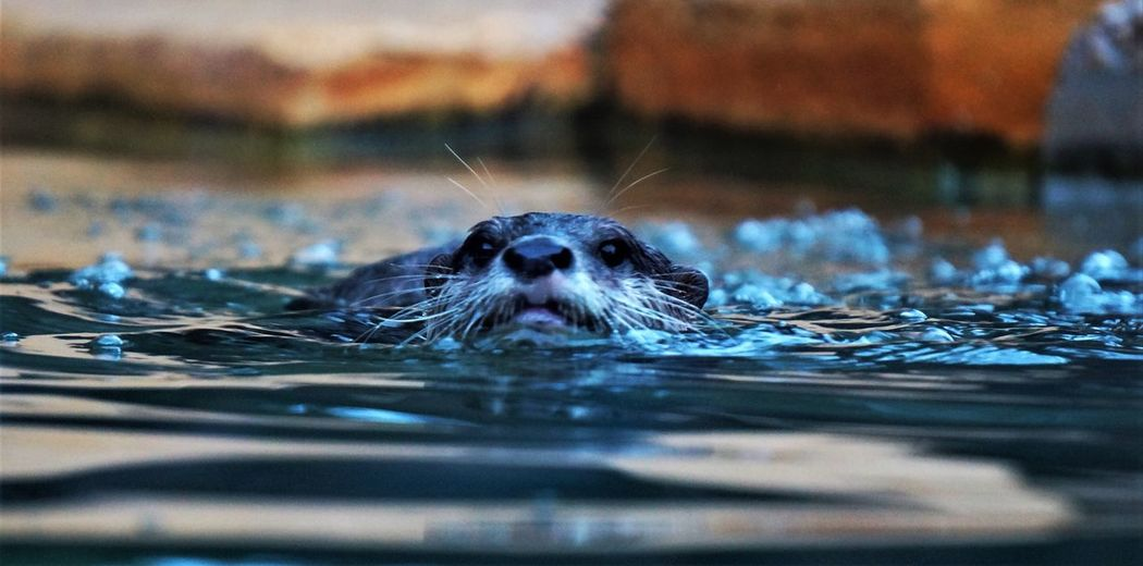 wolf of the creatures Water One Animal Animal Themes Otter Australia Zoo EyeEmNewHere The Great Outdoors - 2017 EyeEm Awards
