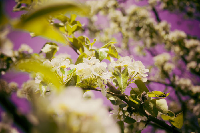 Kirschblüte 🌸EyeEm Diversity 🌸Nature Flower Purple Plant Nature Fragility Beauty In Nature No People Pink Color Outdoors Close-up Closing Day Defocused Freshness Flower Head Cherry Blossoms Nicospecial Beauty In Nature Backgrounds