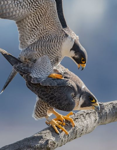 Peregrine falcons mating Falcon Peregrine EyeEm Selects Animal Themes Animal Bird Animals In The Wild Vertebrate Animal Wildlife Group Of Animals Nature No People Day Close-up Outdoors Mouth Mouth Open Food Two Animals Beak Eating Water Falcon - Bird