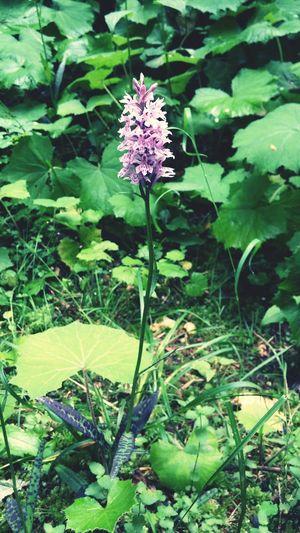 Orchid Austrian