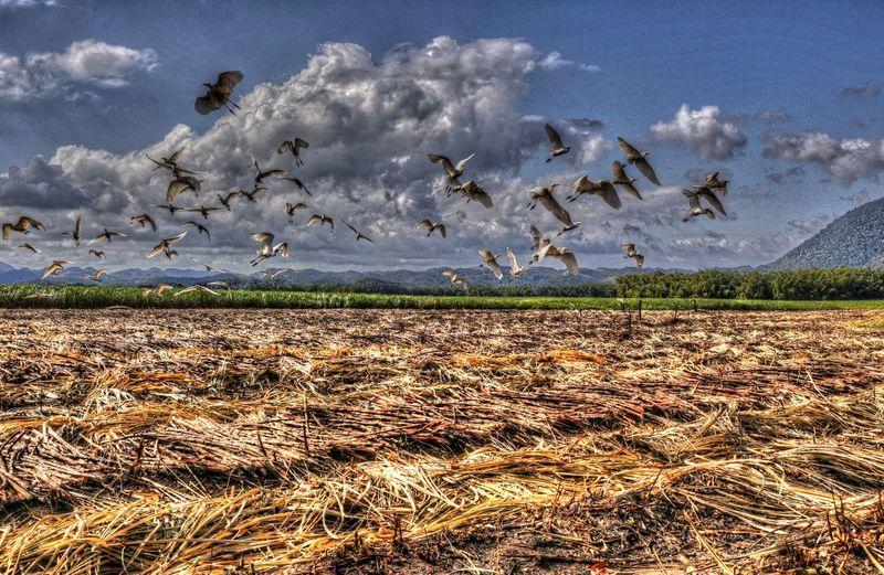LluidasVale, Jamaica Bird Jamaica Landscape No People Outdoors Sky Sugarcane Sugarcane Field Sugarcane Harvest
