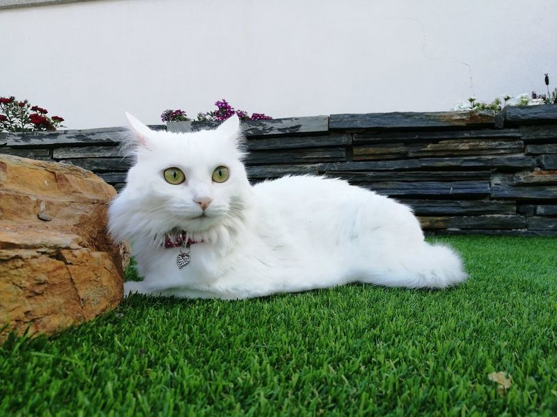 Pets Domestic Cat Domestic Animals Looking At Camera Animal Themes Animal Portrait Feline One Animal Grass Lying Down Mammal No People Indoors  Protruding Day España🇪🇸 Gato😽 Catlovers Persian Cat  Beauty In Nature Nature Nala❤ Verín Travel Destinations EyeEm Selects