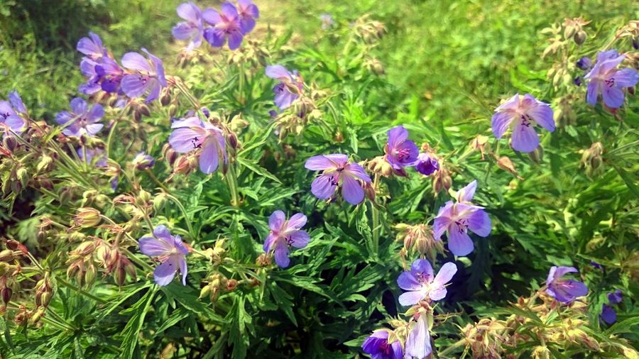 Nature Purple No People High Angle View Beauty In Nature Growth Flower Outdoors Field Plant Day Fragility Grass Close-up Flower Head Freshness