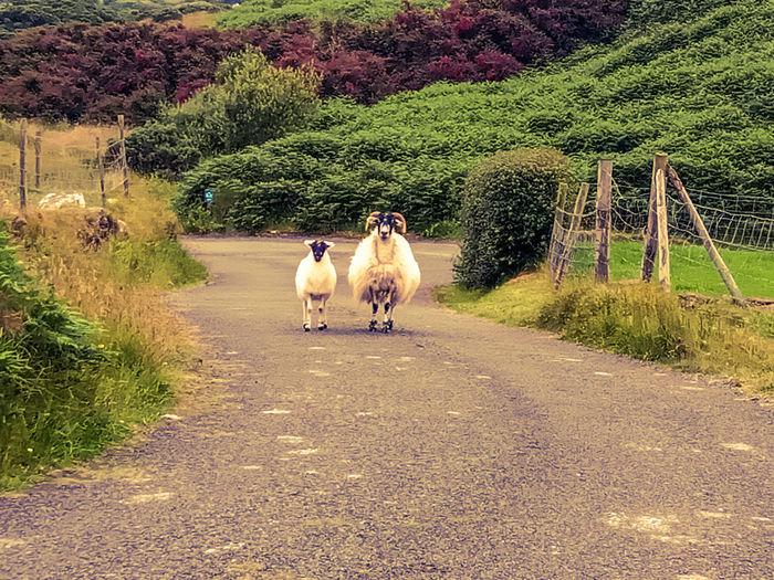 Lamb and its