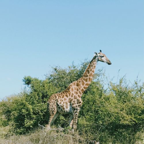 Side View Of Giraffe Standing On Landscape Against Clear Sky