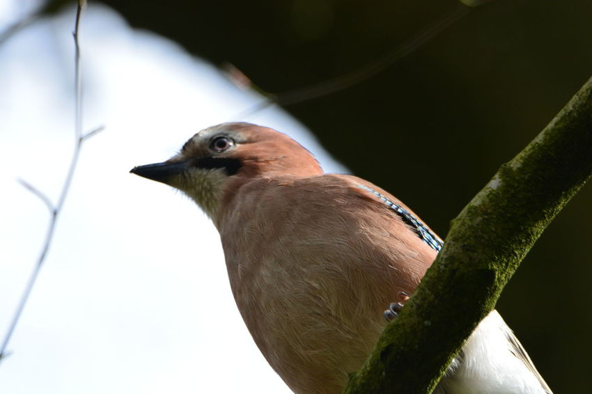 Animal Themes Animal Wildlife Animals In The Wild Bird Branch Close-up Day Focus On Foreground Jay Bird Nature Nikonphotography No People One Animal Outdoors Perching Tree