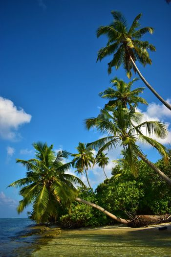 Addu Atoll Feeling Beauty In Nature Coconut Palm Tree Day Green Color Growth Land Leaf Malediven  Nature No People Outdoors Palm Leaf Palm Tree Plant Scenics - Nature Sky Tranquil Scene Tranquility Tree Tropical Climate Tropical Tree Water 阿杜環礁