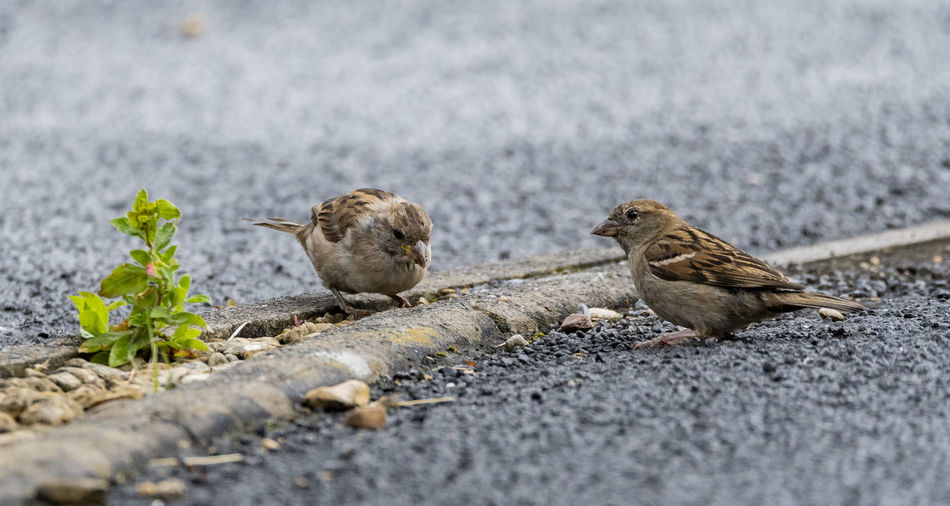 Welsh Sparrow