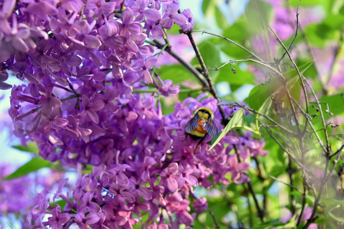 Animal Animal Themes Animal Wildlife Animals In The Wild Beauty In Nature Close-up Day Flower Flower Head Flowering Plant Fragility Freshness Growth Insect Invertebrate Lilac Nature No People One Animal Outdoors Petal Plant Purple Springtime Vulnerability