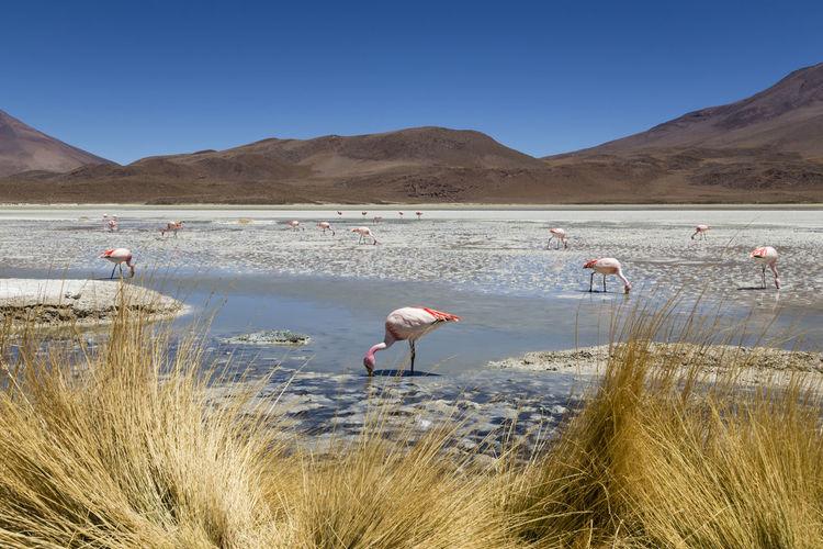 Flamingos on beach against clear sky