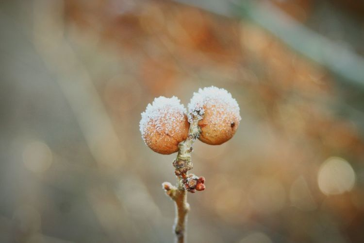 Close-up of snow on oak apples