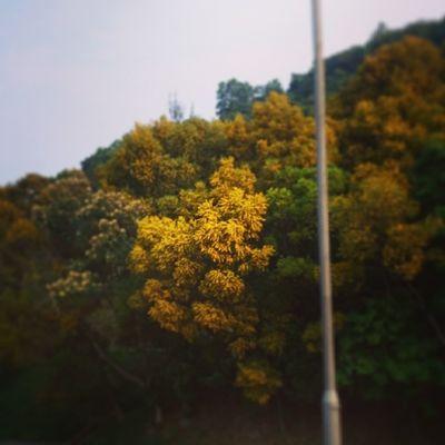 這漫山的黃花是?