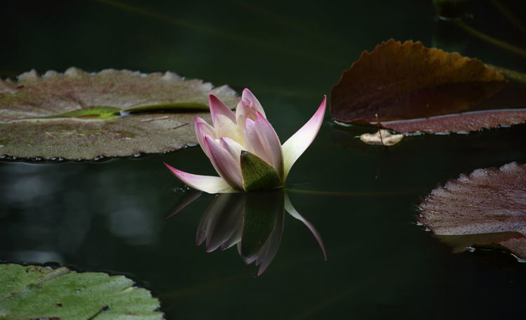 Born in water, grows in water, and rises out of water!🌸🌸 Waterlily Waterlilies Waterlilypond Pink Flower Pink Water Lily Nature Beauty In Nature Flower Head Water Lily Lotus Water Lily Reflection Flower Leaf Plant Outdoors Simplicity Water Petal in United States