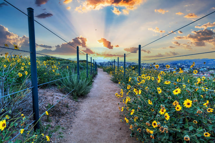 Yellow flowering plants on field against sky during sunset