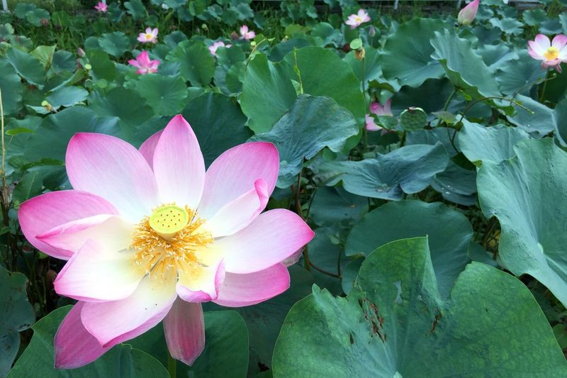 Lotus Flower Petal Leaf Flower Head Beauty In Nature Plant Nature Growth Pink Color Fragility Outdoors No People Blooming Day Close-up Lotus Water Lily