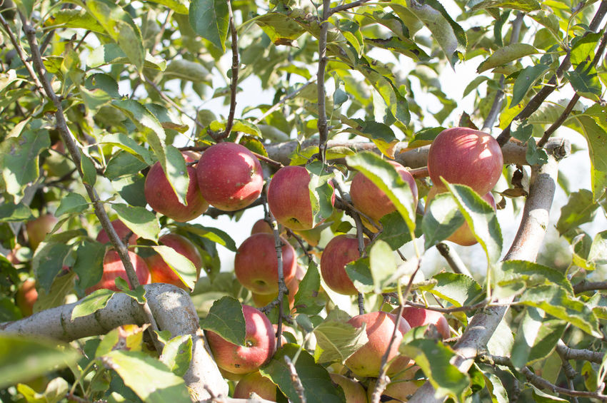 Apple Apple Fruit Apple Tree Branch Fruit Hanging Healthy Eating Leaf Organic Tree Crafted Beauty