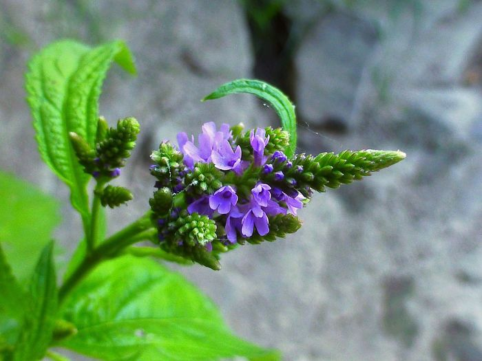 Flowering Plant Flower Plant Freshness Vulnerability  Beauty In Nature Fragility Close-up Focus On Foreground Purple Growth